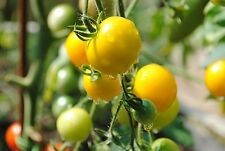 TOMATO 'Orange Cherry' 15+ seeds vegetable garden *ORGANIC* heritage heirloom