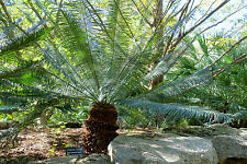 Cycas siamensis - Living Fossil - Seeds