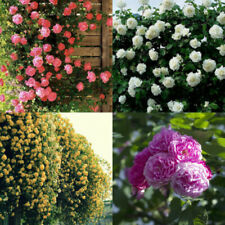100 Pcs Climbing Rose Seeds Rosa Multiflora Perennial Fragrant Flower Fashion