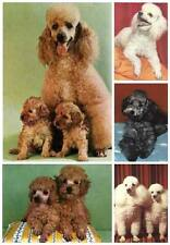 Vintage Dog Postcards - Poodles Galore - Postcards Unused/Unposted