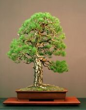 Pinus sylvestris (Scots Pine) - Native conifer- Bonsai or Xmas - 25 or 100 seeds