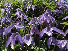 Clematis Columbiana (Glorious Groundcover!! ) x Fresh Seed