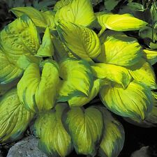 """hosta STAINED GLASS medium fragrant disease-free 3"""" pot ☆1 Live Potted Plant☆"""