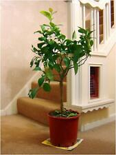 1 TRELLIS SCENT LEMON CITRUS FRUIT INDOOR TREE IN POT OUTDOOR INDOOR HOUSE PLANT