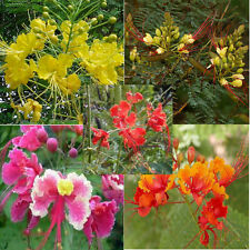 CAESALPINIA PULCHERRIMA many colors 10, 50, 100, 500, 1000 seeds choice listing
