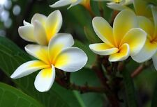 Hawaiian Lei Fragrance Oil Candle Soap Making Supplies Lotions More Strong Uncut