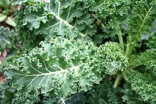 Kale Seed:  Blue Curled Scotch Kale Seeds Fresh Seed  FREE Shipping