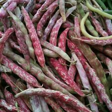 Green Bean Seed: French Horticulture Seeds  Fresh Seed  FREE Shipping!!!