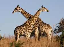 two giraffes room wall art Poster personalized Free