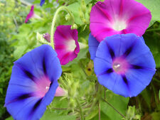 Flower Seed: Mixed Colors Morning Glory Seeds  Fresh Seed  FREE Shipping