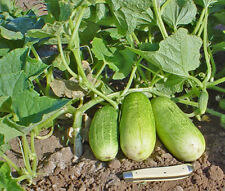 10 - 1 oz. Calypso F1 Hybrid Cucumber Seeds - Great for Pickling!!