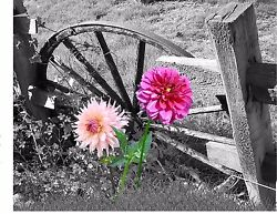 Pink Dahlias Home Decor Wall Art Photo Print Bamp;W Dahlia Rustic Bedroom Picture $19.75
