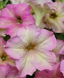 Petunia Sophistica Antique Shades Pelleted Seeds $11.98