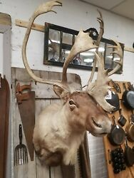 large Caribou mount taxidermy hunting camp lodge cabin mancave decor