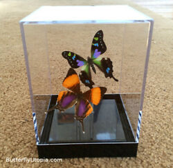 Real 3D Framed Butterflies: Purple Pair Table Top includes Purple Spotted Sw $64.00