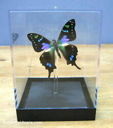 Real 3D Framed Butterfly: Purple Spotted Swallowtail Table Top $39.00