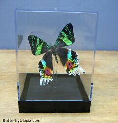 Real 3D Framed Butterfly: Sunset Moth Table Top $39.00