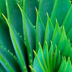 Aloe Vera Gel Pure Organic THE ONLY After Microdermabrasion Moisturizer Lotion $15.80