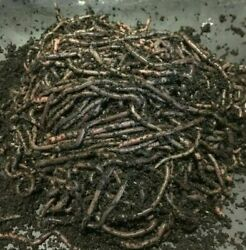 African Nightcrawlers By The Count Mature Breeder Worms Bait or Composting $42.99