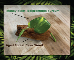 Forest Floor Wood And Live Marble Queen Plant *** Perfect For Insect Habitats $9.95