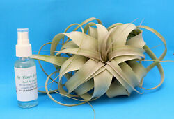 Tillandsia Xerographica Air Plant with Fertilizer amp; Plant Care Card Ships Free $18.90
