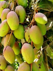 A SPECIAL BLEND OF FERTILIZER FOR MANGO TREES ONLY $15.00