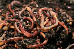 350 Red Wiggler Compost Worms 1 3 Pound $24.99
