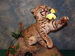 Quality Texas Bobcat Trophy Mount Taxidermy Home Cabin Decor