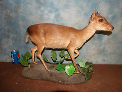 African Blue Duiker Pygmy Antelope Trophy Mount Taxidermy Home Cabin Decor