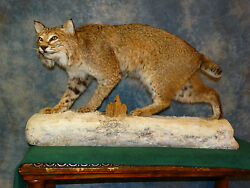 Giant! Quality Montana Bobcat Trophy Mount Taxidermy Home Cabin Decor