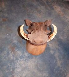 Cool African Warthog Head Mount Taxidermy Home Cabin Decor
