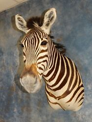 Gorgeous Quality African Zebra Head Mount Taxidermy Home Hunting Cabin Decor
