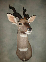 Beautiful African Lesser Kudu Head Mount Taxidermy Home Cabin Decor