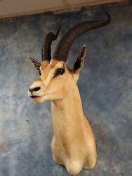 # 9 All Time SCI African Grants Gazelle Mount  Taxidermy Hunting Cabin Decor
