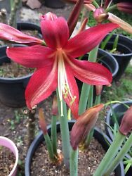 Rare & Exotic Cybister Hippeastrum Flowering size bulb -Lost Tag free Post
