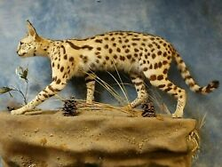 Beautiful African Serval CatCivetCaracal Taxidermy Mount Home Cabin Decor