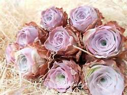 Greenovia aurea ex El Hierro Mountain Pink Rose One Head Rare Succulent 0.5-1.2