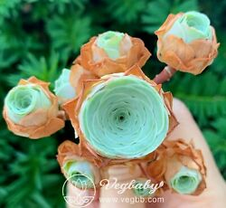 Greenovia SP Mountain Rose Cluster Korean Rare Succulent Plant 1.5-2