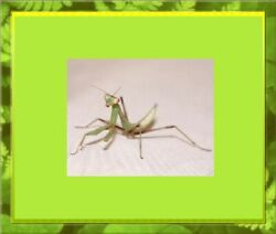 Giant Asian Mantis Nymph -- They get Big! Easy Care Fun Pets and School Projects