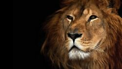 contemporary home decor animal lion art poster $13.89