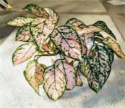 Chinese Evergreen Plant - Aglaonema .  PINK BEAUTY.   4
