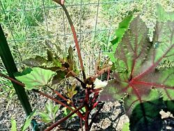 VARIEGATED RED okra very Gorgeous amp; productive Tasty variety for gardens amp; more $5.99
