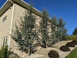 10 BLUE ATLAS CEDAR TREES 1#x27; 2#x27; TALL FRESH DUG AND GROWER DIRECT $99.00