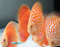 3 3.5quot; Red Pigeon Discus Fish for Sale $59.00