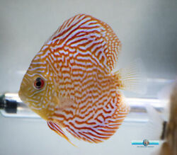 5quot; Mosaic Turquoise Discus Fish for Sale $80.00