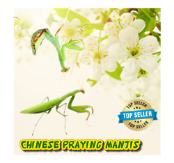 Chinese Praying Mantis LIVE Educational or Insect Control L4 to L5 $22.99