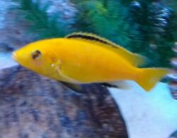 3 Pack Electric Yellow Lab Mbuna African Cichlid 3 live fish for 1 price $25.00