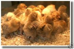 Chicks Animals Cute Pets Chickens Birds NEW POSTER $9.99