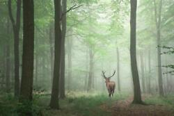 Red Deer Stag in Foggy Autumn Forest Photo Art Print Poster 24x36 inch $9.99