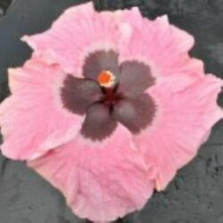 ** TAMIBON ** Rooted Tropical Exotic Hibiscus Plant***Ships In Pot**